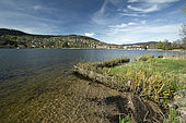 Willow plantation (Salix sp.) to protect lake shores from the swell, Gérardmer, Vosges, France