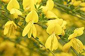 English broom (Cytisus scoparius) flowers, France