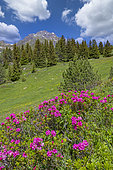 Alpine Lawn with alpenrose, snow-rose, or rusty-leaved alpenrose (Rhododendron ferrugineum), in bloom, From the arrival of the Champagny aerial lift, exceptional panorama of the Vanoise glaciers, the Grand Bec, the Grande Casse and the peaks over 3000 meters, Champagny-en-Vanoise, Savoie, Auvergne-Rhône-Alpes Region, France