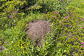 Alpine glade with a nest of redwood ant (Formica rufa), these ants play a role in the management of forest pest insects, Champagny-en-Vanoise, Savoie, Auvergne-Rhône-Alpes region, France