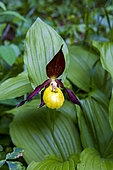 Lady's-slipper orchid (Cypripedium calceolus), in undergrowth in a natural reserve, protected region, Champagny-en-Vanoise, Savoie, Auvergne-Rhône-Alpes Region, France