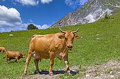 Tarentaise cow or Tarine, grazing in the alpine meadows above Champagny en Vanoise, Champagny-en-Vanoise, Savoie, Auvergne-Rhône-Alpes Region, France
