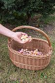 Artisanal picking of plums in a garden, Bas Rhin (67), Alsace, Grand Est region, France