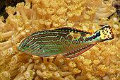Rare wrasse (Macropharyngodon bipartitus)