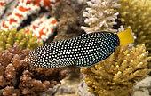 Spotted Wrasse (Anampses meleagrides) in marine aquarium