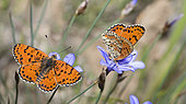 Spotted Fritillary (Melitaea didyma) males on flowers, Mont Ventoux, Provence, France