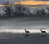Roe deer (Capreolus capreolus) in the early morning crossing the delta, Sauer Delta Nature Reserve, Rhine bank, Munchhausen, Alsace, France