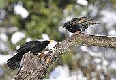European Starling (Sturnus vulgaris) nagged by a Blackbird (Turdus merula), Vosges du Nord Regional Nature Park, France