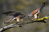 Kestrel (Falco tinnunculus) offering a cricket to the female during courtship, Vosges du Nord Regional Nature Park, France