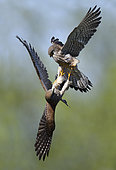 Common Kestrel (Falco tinnunculus) females fighting, Vosges du Nord Regional Nature Park, France