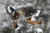 Hawfinch (Coccothraustes coccothraustes) fighting, Vosges du Nord Regional Nature Park, France