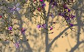 Kobus Magnolia (Magnolia kobus) native to Japan, Pays de Loire, France