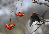 Blackbird (Turdus merula) eating rowan (Sorbus aucuparia), Vosges du Nord Regional Nature Park, France