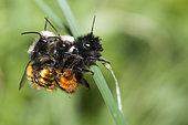 Hornfaced bee (Osmia cornuta) Three-way mating, Vosges du Nord Regional Nature Park, France