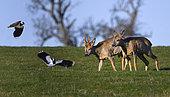 Lapwing (Vanellus vanellus) nagging roe deer (Capreolus capreolus), Vosges du Nord Regional Nature Park, France