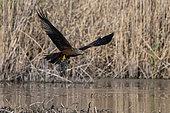 Black kite (Milvus migrans) catching a fish, Lake Varese, Varese, Italy.