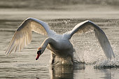 Mute Swan (Cygnus olor) taking off, Lake Varese, Varese, Italy.
