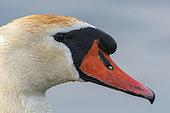 Mute Swan (Cygnus olor) portrait, Lake Varese, Varese, Italy.