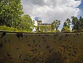Tadpoles of Common toads (Bufo bufo) in a fountain, Villa Toeplitz, Varese, Italy.