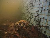 Common toads (Bufo bufo) mating in a fountain, Villa Toepliz, Varese, Italy.