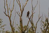Black kite (Milvus migrans) on a branch, Lake Varese, Varese, Italy.