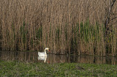 Mute Swan (Cygnus olor) on water, Lake Varese, Varese, Italy.