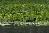 Eurasian Coot (Fulica atra) with chicks, Lake Varese, Varese, Italy.