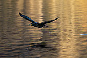 Cormorant (Phalocrocorax carbo) in flight, Lake Varese, Varese, Italy.