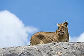 A lioness (Panthera leo) on a kopje, Seronera, Serengeti National Park.
