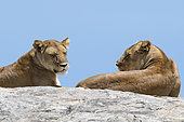 Lion (Panthera leo) females on rock, Seronera, Serengeti National Park, Tanzania.