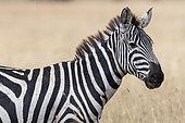 Plains zebra (Equus quagga) portrait, Seronera, Serengeti National Park, Tanzania.