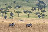 Plains zebras (Equus quagga), Seronera, Serengeti National Park, Tanzania.