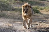 A male lion (Panthera leo), Ndutu, Ngorongoro Conservation Area, Serengeti, Tanzania.