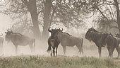 A herd of blue wildebeest (Connochaetes taurinus), Ndutu, Ngorongoro Conservation Area, Serengeti, Tanzania.