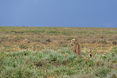 Cheetah (Acinonyx jubatus) sitting in the savana, Ndutu, Ngorongoro Conservation Area, Serengeti, Tanzania.