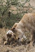 Lion (Panthera leo) grooming, Ndutu, Ngorongoro Conservation Area, Serengeti, Tanzania.