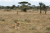 Lion (Panthera leo) female lying, Ndutu, Ngorongoro Conservation Area, Serengeti, Tanzania.