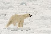 Polar bear (Ursus maritimus), Polar Ice Cap, 81north of Spitsbergen, Norway.