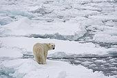 Polar bear (Ursus maritimus), Polar Ice Cap, 81 north of Spitsbergen, Norway. North polar ice cap, Arctic ocean