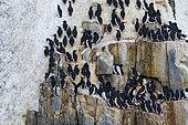Bruennich's Guillemots (Uria lomvia) on cliff, Alkefjellet, Spitsbergen, Svalbard Islands, Norway.