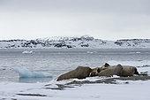 Atlantic walruses (Odobenus rosmarus), Vibebukta, Austfonna, Nordaustlandet, Svalbard Islands, Norway.