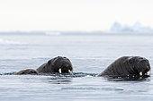 Morses de l'Atlantique (Odobenus rosmarus) dans l'eau, Vibebukta, Austfonna, Nordaustlandet, îles Svalbard