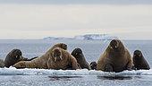 Morses de l'Atlantique (Odobenus rosmarus), Vibebukta, Austfonna, Nordaustlandet, îles Svalbard