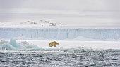 Polar bear (Ursus maritimus) walking along the southern edge of Austfonna ice cap, Nordaustlandet, Svalbard, Norway.