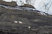 Svalbard reindeers (Rangifer tarandus) walking, Freemansundet strait, Barents Island, Svalbard