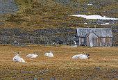 Svalbard reindeers, Rangifer tarandus, in tundra under a snowfall. Varsolbukta, Bellsund bay, Van Mijenfjorden, Camp Millar, Svalbard