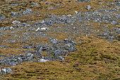 Arctic fox (Vulpes lagopus), Varsolbukta, Bellsund bay, Van Mijenfjorden, Spitsbergen, Svalbard Islands.