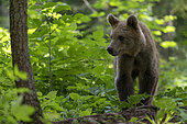 European brown bear (Ursus arctos), Notranjska forest, Slovenia.