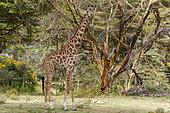 Rotschild's giraffe (Giraffa camelopardalis rotschildi), Lake Naivasha, Kenya.