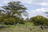 Marabou stork (Leptoptilos crumeniferus), Lake Naivasha, Kenya.